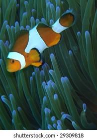 Orange clown fish - Pacific Ocean, Philippines