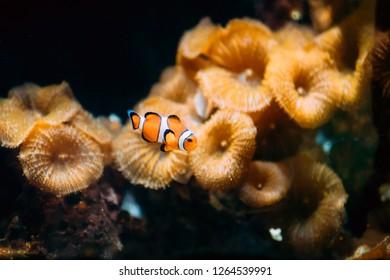 Orange Clownfish Or Amphiprion Percula Or Percula Clownfish And Clown Anemonefish Is A Popular Aquarium Fish.