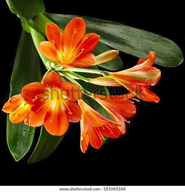 Orange Color Flowers Lily Clivia Kind Stock Photo Edit Now 181069268