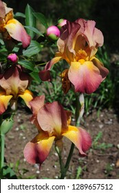 Orange color iris flowers with big lush petals of burgundy color. Spring blooming garden irises closeup. Vivid yellow fleur-de-lis with red edges of petals. Flowerbed of irises and pink peony buds