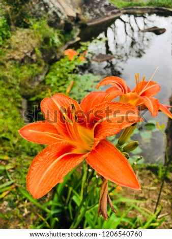 93ac3dc3b9e00 Orange Color Spider Lilly Stock Photo (Edit Now) 1206540760 ...
