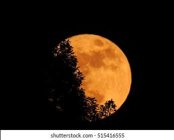 orange color  super full moon behind  dark  big  tree.