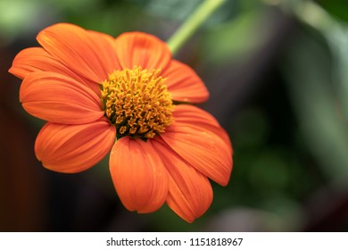 An orange color Zinnia flower. Blooms of orange Zinnia elegans