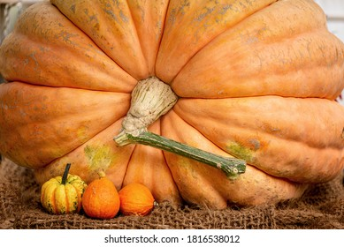 Orange colored giant pumpkin harvested in autumn