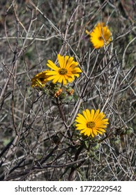 The orange colored Namaqua Widowseed daisies (Hyoseroides Asteraceae) serounded by dead sticks of previous growth, in Goegap Nature Reserve, South Africa