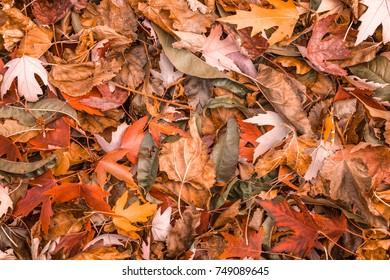 Orange colorful autumn leaves in pile during fall season.