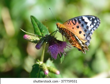 orange colorful butterfly on thistle flowers in summer