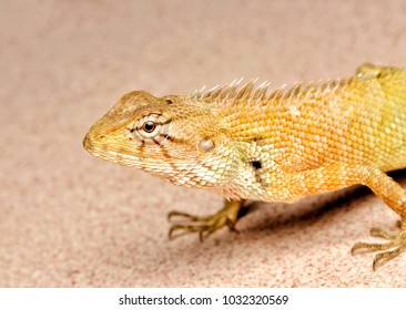 Orange colour skink lizard