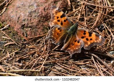 Orange Comma Butterfly