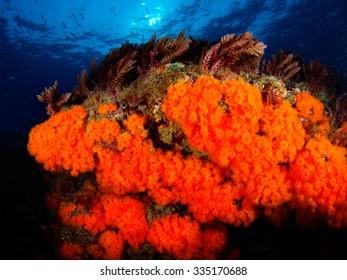 Orange coral (Astroides calycularis). Underwater image.