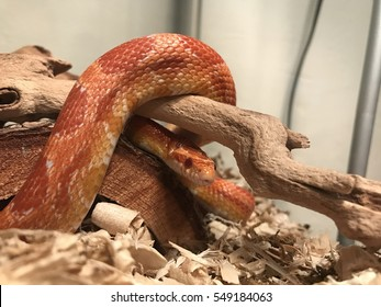 Orange corn snake wrapped around a stick