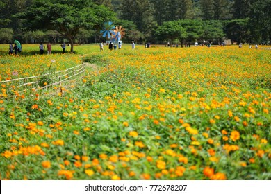 Orange Cosmos Flower field that is the highlight of farm tour at Jim Thompson Farm, Nakornratchasima, Thailand on 3 December 2017