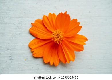 Orange cosmos flower on blue wooden background.