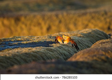 Orange crab on a rock