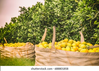 Orange crop harvest in brazil on winter in a cloudy day
