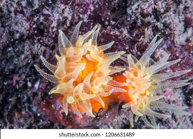 Orange cup coral (Tubastraea coccinea) . large-polyp looks like soft coral, but stony corals. Owase, Mie, Japan