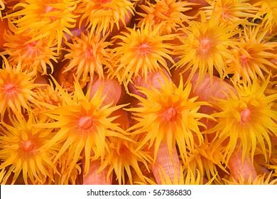 Orange cup coral, Tubastraea coccinea, Komodo, Indonesia, Indo Pacific.