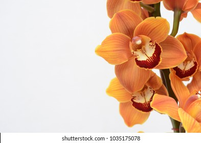 Orange cymbidium flower