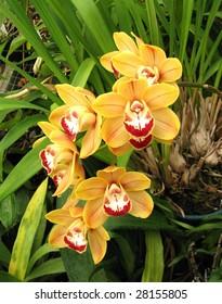 Orange Cymbidium Orchid