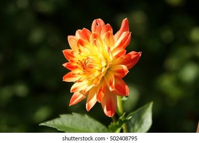 Orange dahila flower in the green summer home flower garden in countryside nature