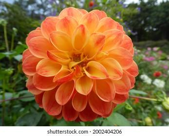 Orange dahlia at Botanika Bremen - Shutterstock ID 2002404206