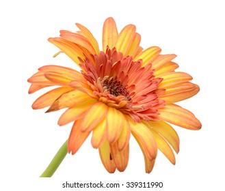 Orange dahlia. Deep focus. No dust. No pollen. Please watch more flower heads in my portfolio.