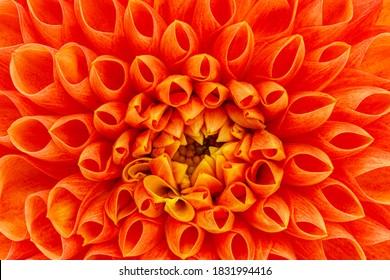 Orange dahlia flower, close up macro. Yellow dahlia full bloom, closeup