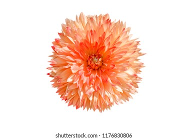 Orange dahlia flower isolated on white background