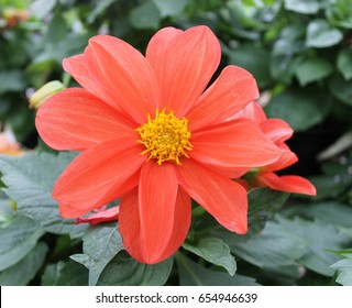 Orange Dahlia with Yellow Middle