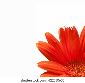 orange daisy flower close up in white backgrounds