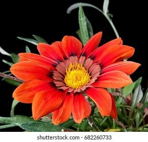 Orange daisy flower in natural background