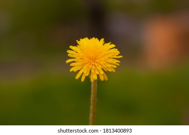 Orange dandelion on a blurred green background.
