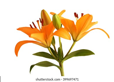 Orange day lily flower isolated on white background