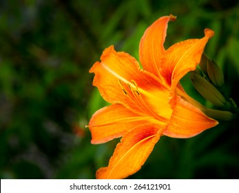 orange day lily (hermerocallis), macro with green background. shallow DOF, focus on the anthers
