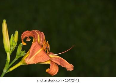 Orange Daylily with buds on dark green background