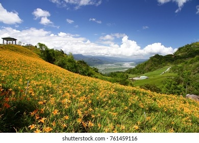 Orange daylily flower ( Hemerocallis citrina ) bloom over the whole Sixty Rock Mountain with the background of bright blue sky and white cloud in the Hualien county in Taiwan.