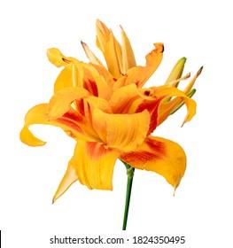 Orange daylily, Orange flower isolated on white background with clipping path