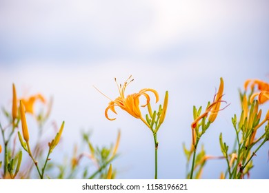 Orange daylily flower(Tawny daylily) bloom over the whole Mountain with the background of bright blue sky and white cloud in the Hualian and Taitung, Taiwan, close-up.