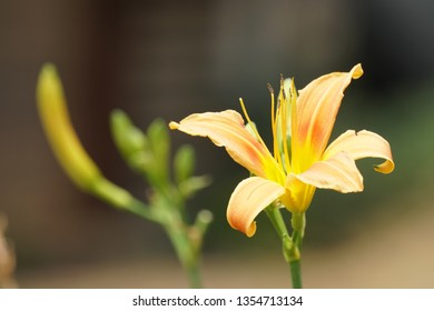 orange day-lily or Hemerocallis fulva, tawny daylily, ditch lily
