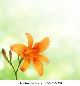 orange daylily on green blurred background