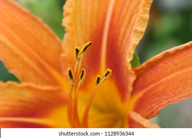 Orange day-lily or tawny daylily or tiger daylily or fulvous daylily or ditch lily or railroad daylily or outhouse lily or wash-house lily (Hemerocallis fulva) orange flower with stamens close up