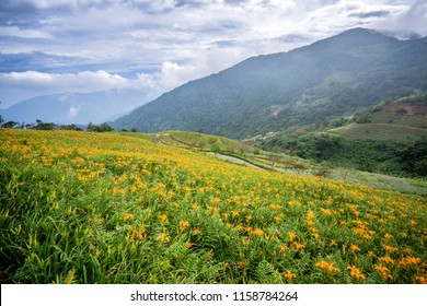 The Orange daylily(Tawny daylily) flower farm at Taimali Mountain with blue sky and cloud, Taitung, Taiwan