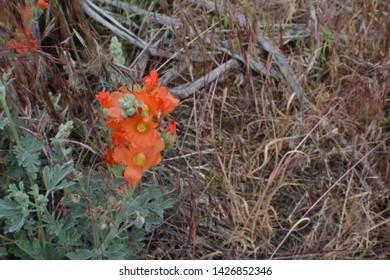 Orange Desert Flowers Off Trail
