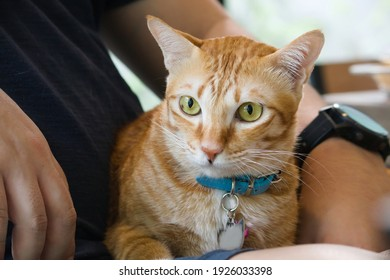 Orange domestic cat sit on owner lap face looking away, suspicious doubtful feeling. Friendship, naughty cat concept.