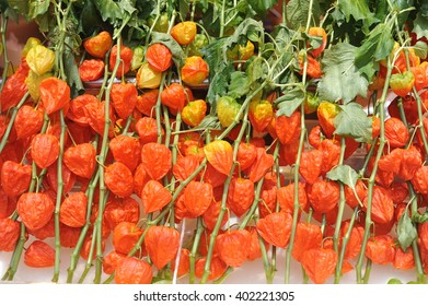 Orange dried Chinese Lantern Plants (Physalis alkekengi) in autumn in Japan