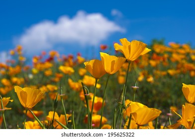 Orange eschscholzia californica flower with blue sky background