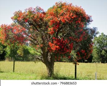 Orange Eucalyptus or Gum tree coverered in blossom