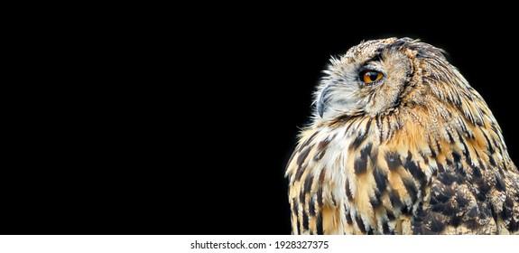 Orange eyed Eagle Owl on black. Background for product display, banner, or mockup