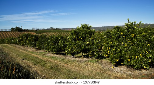 An orange farm in the Eastern Cape Province, South Africa