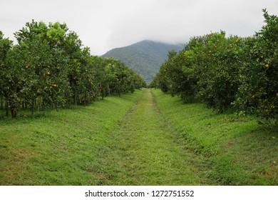 Orange farm on the mountain.